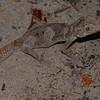 Northern spiny tailed gecko (Strophurus ciliaris)
