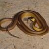 Common tree snake (Dendrelaphis punctulatus)