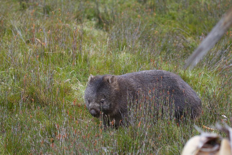 Common Wombat - Cradle Mountain, Tasmania