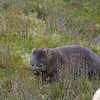 Common Wombat - Cradle Mountain, Tasmania