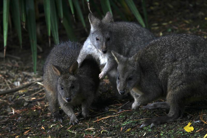 Wallabies - Tasmania