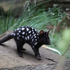 Eastern Spotted Quoll-Tasmania