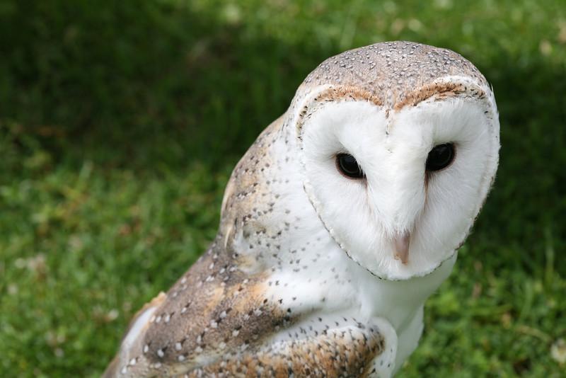 Barn Owl - Queensland