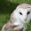 Barn Owl - Queensland