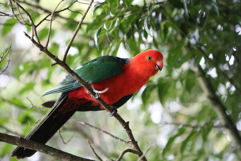 King Parrot-Queensland
