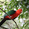King Parrot-Queensland