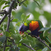 Rainbow Lorikeet-Melbourne