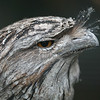 Tawny Frogmouth Owl - Great Ocean Road, Victoria