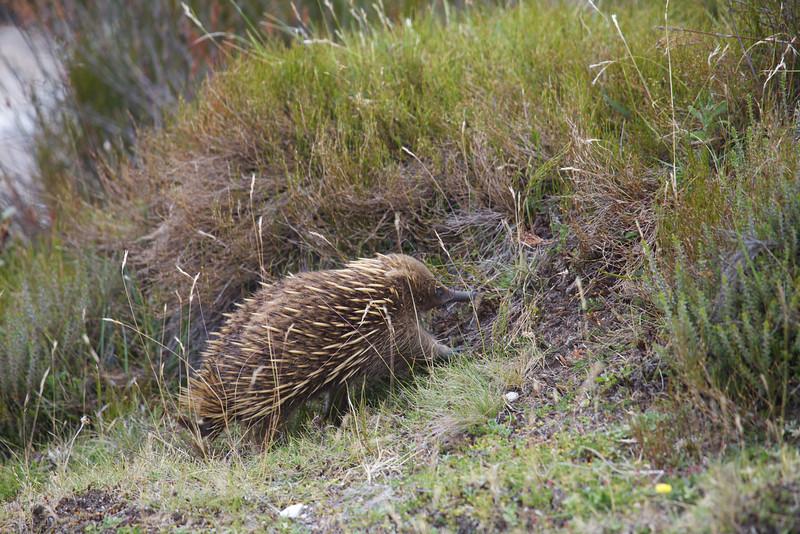 Echidna - Cradle Mountain National Park, Tasmania