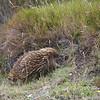 Echidna - Cradle Mountain National Park, Tasmania