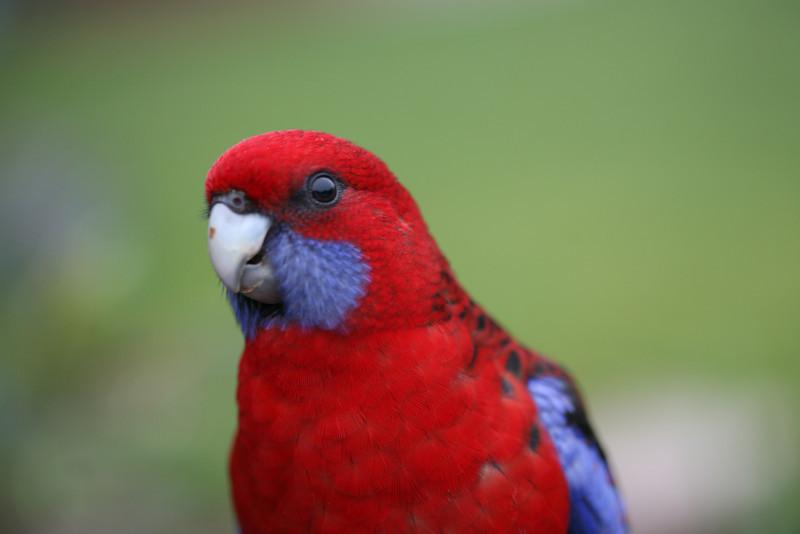 Crimson Rosella-Queensland