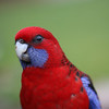 Crimson Rosella-Queensland