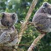 Koala Bears - Tasmania