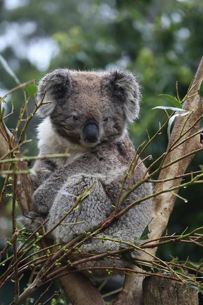 Koala Bear - Tasmania