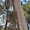 Dried bark hanging from a gum or eucalyptus tree along Prince Henry Cliff Walk in the Blue Mountains 2