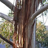 Dried bark hanging from a gum or eucalyptus tree along Prince Henry Cliff Walk in the Blue Mountains 1  Our fireman friend said that this bark was one of the most dangerous kindlings for wildfires in the Australian bush.