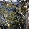 Eucalyptus trees stand out against the rest of the forest viewed along Prince Henry Cliff Walk in the Blue Mountains.