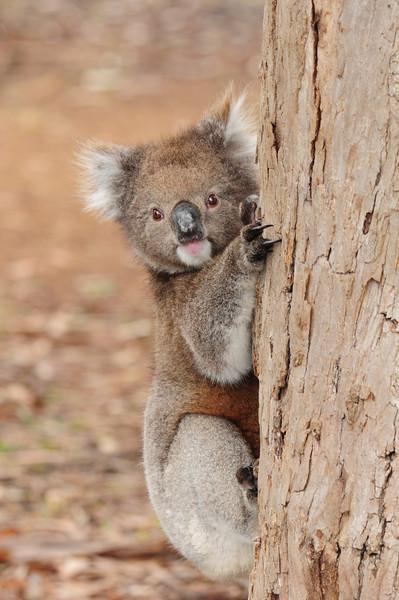 Koala in the wild, coming down the tree