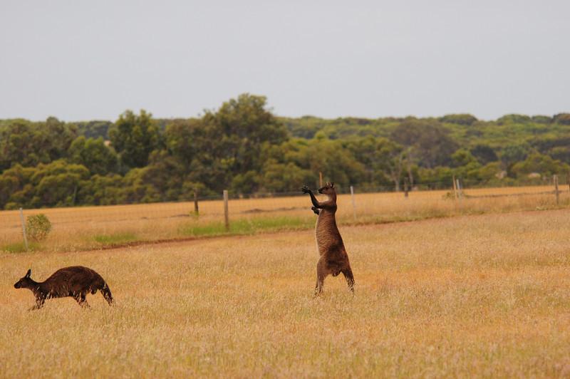 Kangaroo in the wild, ready to box