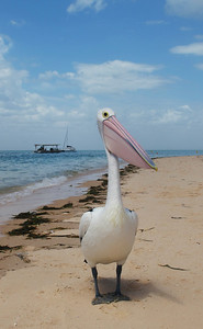Pelican on the shark bay