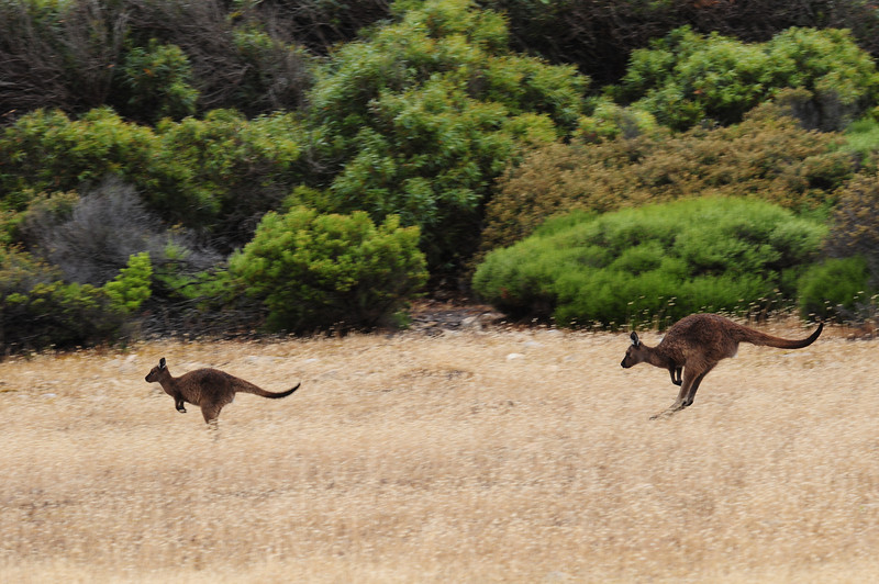 Kangaroos on the move