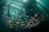 schooling fish under the pier