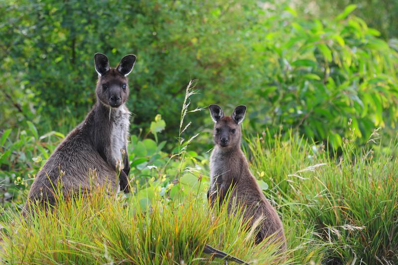 kangaroos in the green
