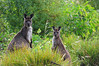 kangaroos in the green