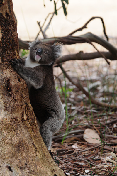 Koala in the wild, coming down the tree