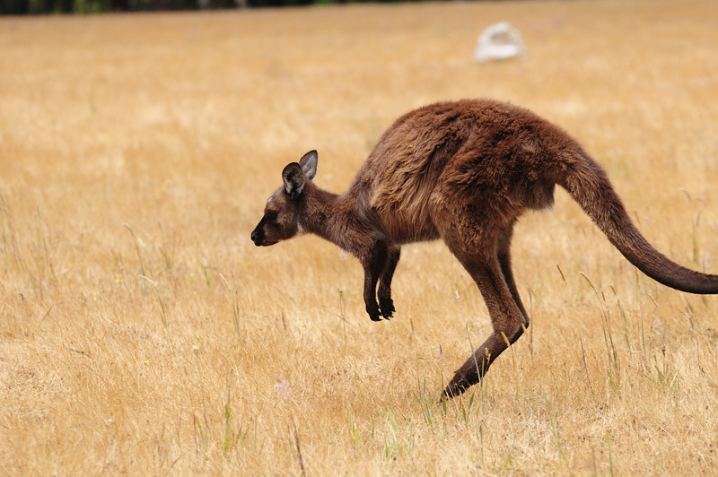 kangaroo, on the move