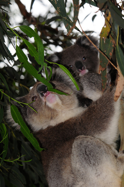 mommy and little koala