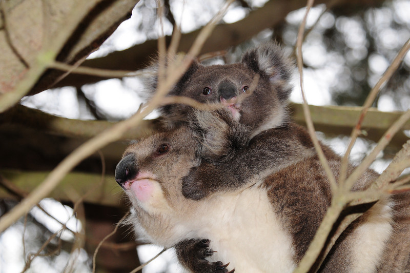 mommy and little koala
