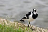 Magpie-lark With Something to Say
