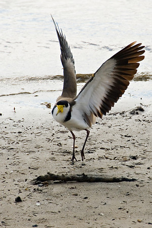 Lift-off<br /> <br /> I got just a tad too close for this Masked Lapwing's (Vanellus miles) comfort so he quickly ended the dance I was trying to capture to give me a shot of these great wings of his instead.