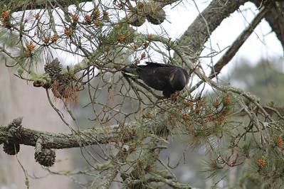 More Black Cockatoo.