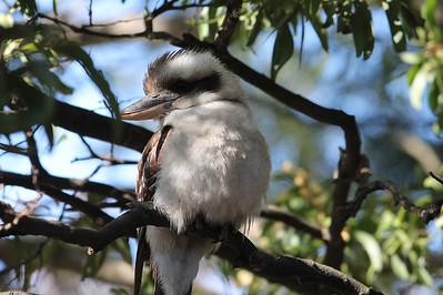 A Kookaburra up in the old gum tree-ee, merry, merry king of the bush is he-ee, Laugh, Kookaburra, laugh, Kookaburra, Gay your life must be!