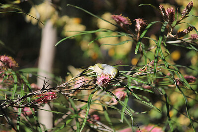 A Silvereye eating a sweet, spring meal in the Botanic Gardens of Canberra, Australia.