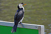 Little Pied Cormorant<br /> <br /> Saw this guy taking a break, and catching a few rays, on a sign on the Yarra River in Melbourne.