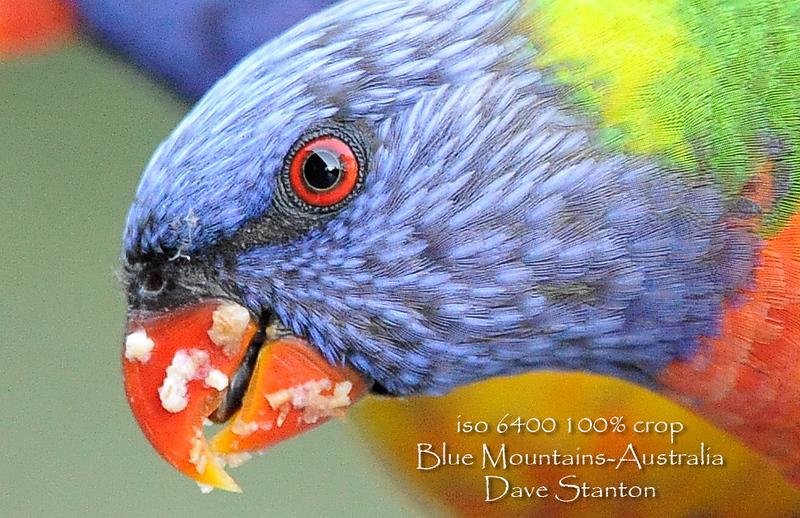 rainbow lorikeet 100% crop