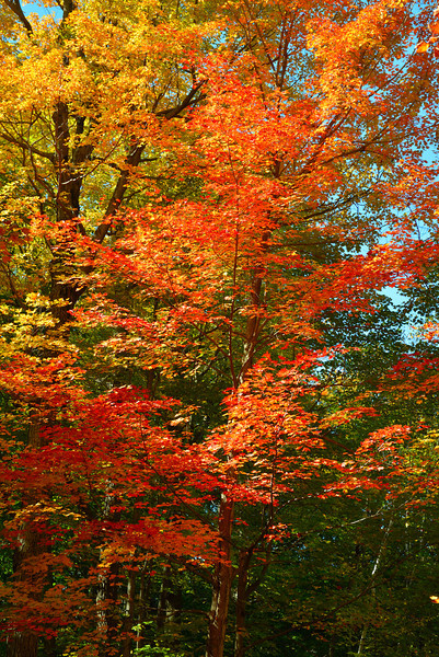 Autumn Colors in Woodland Canaopy