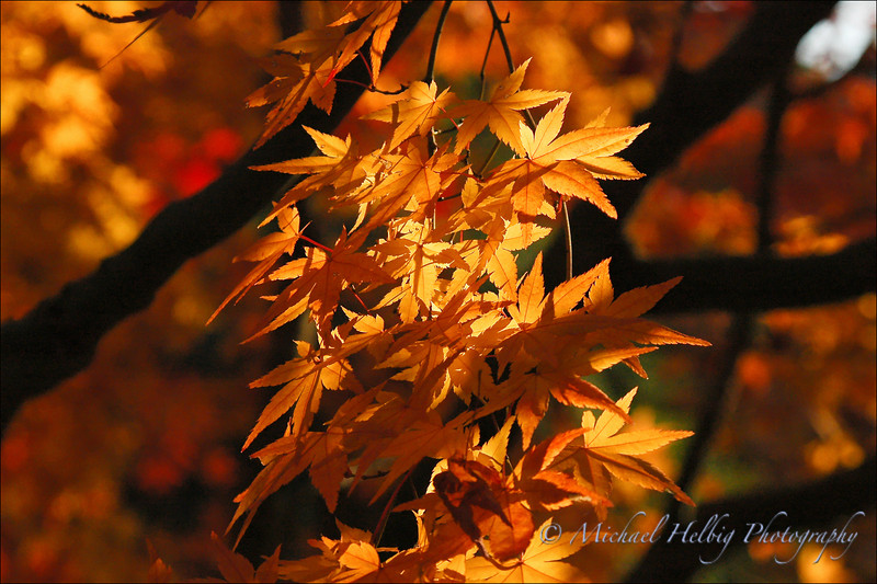 Momiji: Maple leaves - Hiroshima