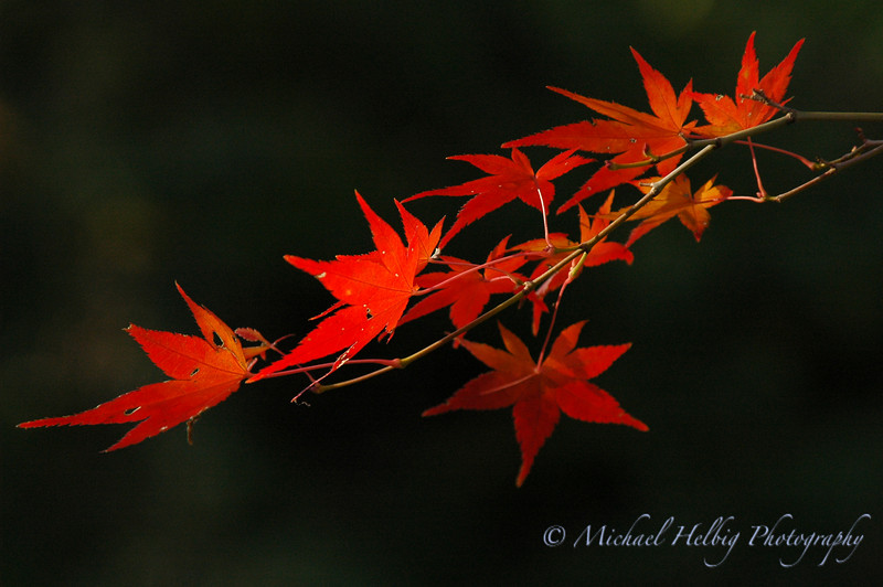 Momiji: Maple leaves - Hiroshima