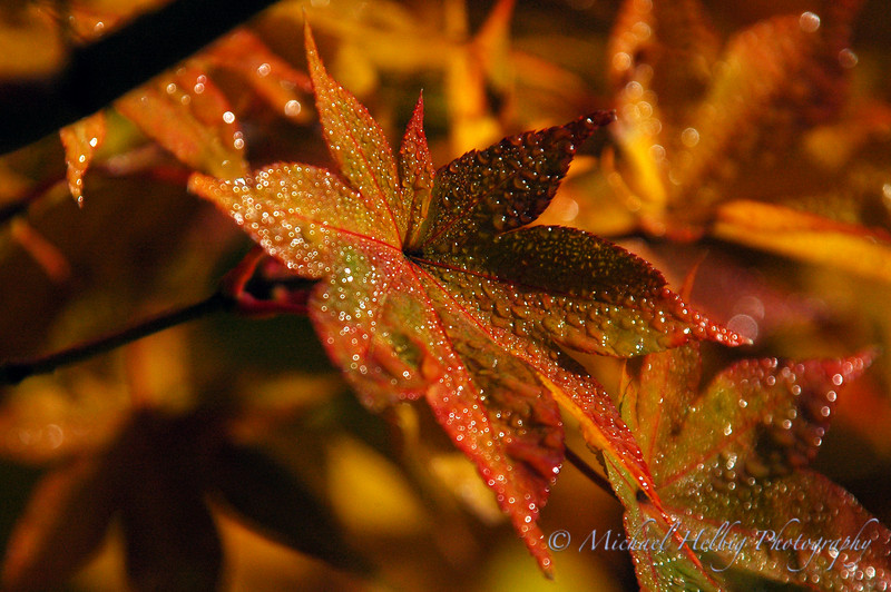 Momiji: Maple leaves - Kyoto