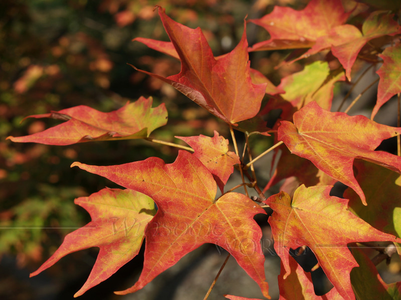 Red & Orange Sugar Maple Leaves