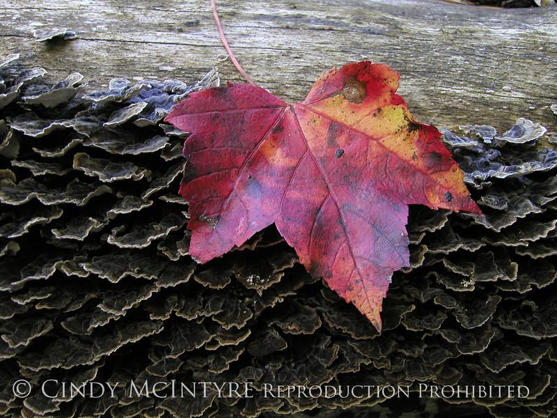 Maple leaf and fungi, Maine (1)