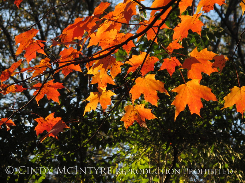 Maple Tree Connecticut (4)