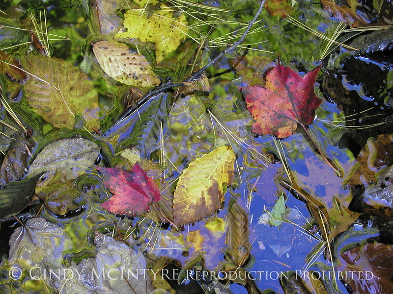 Fall leaves in water, Maine (2)
