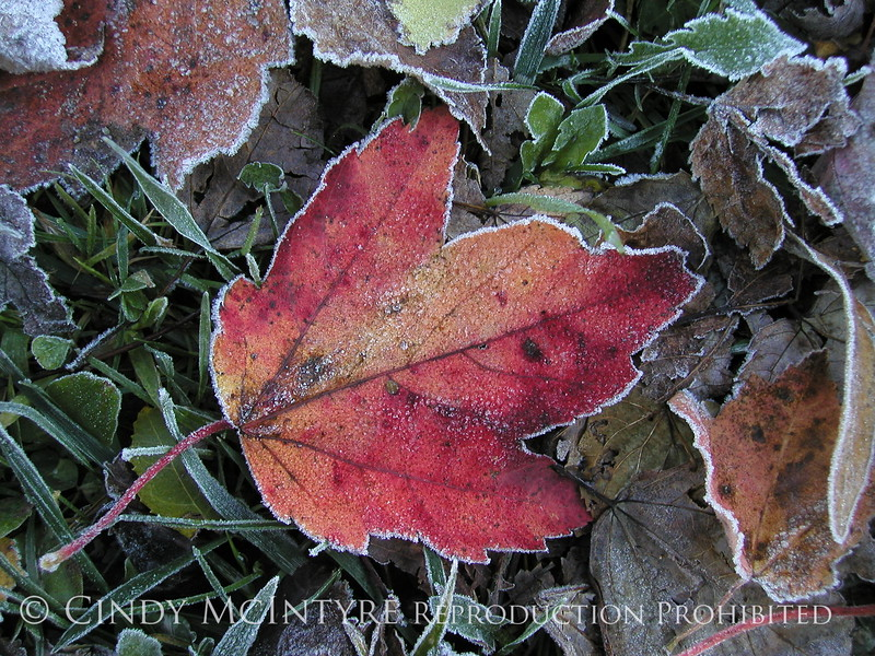 Frosty leaves, Waldoboro ME (13)