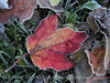 Frosty leaves, Waldoboro ME (13)