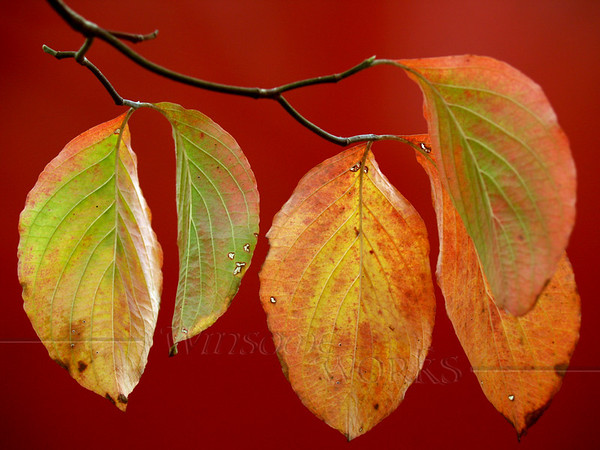 Dogwood Leaves against red sign